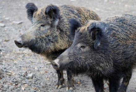 Sołtys wytropi dzikie zwierzęta na zlecenie rządu